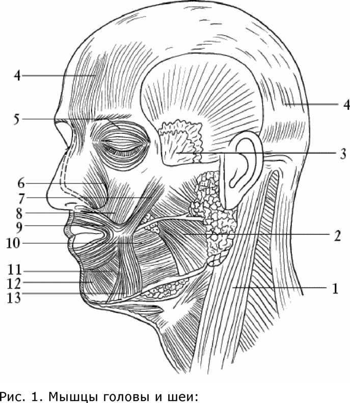 картинки мышц головы браузер можно